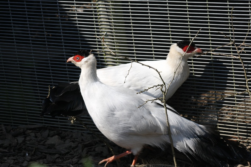 Pair of white eared pheasants